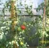W szklarni jeszcze dojrzewają pomidory