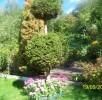 Pod drzewem kwitnący pod koniec lata rozchodnik